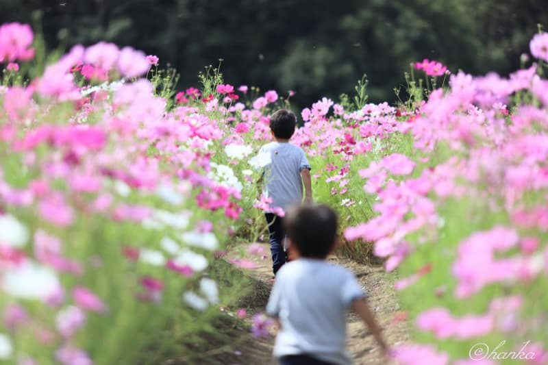 ef135mmf2,秋桜