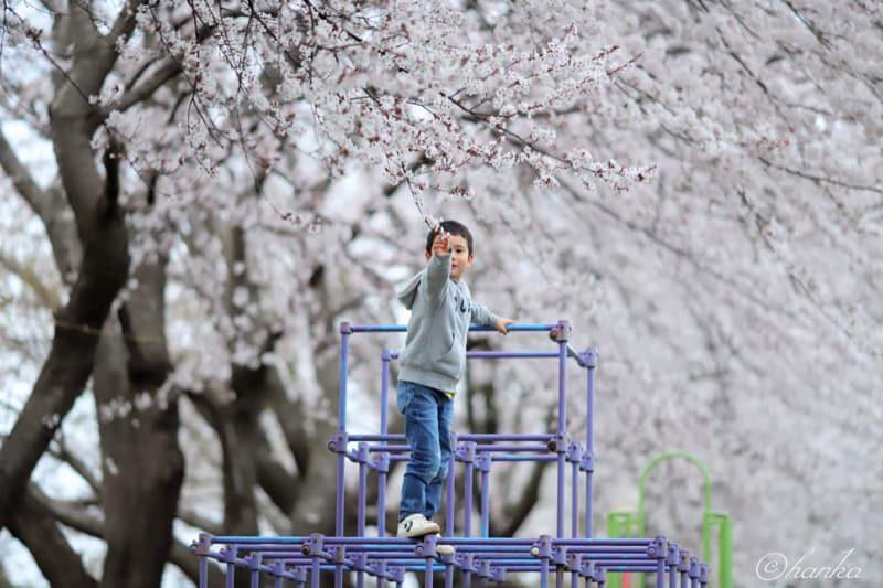 ef135mmf2,桜