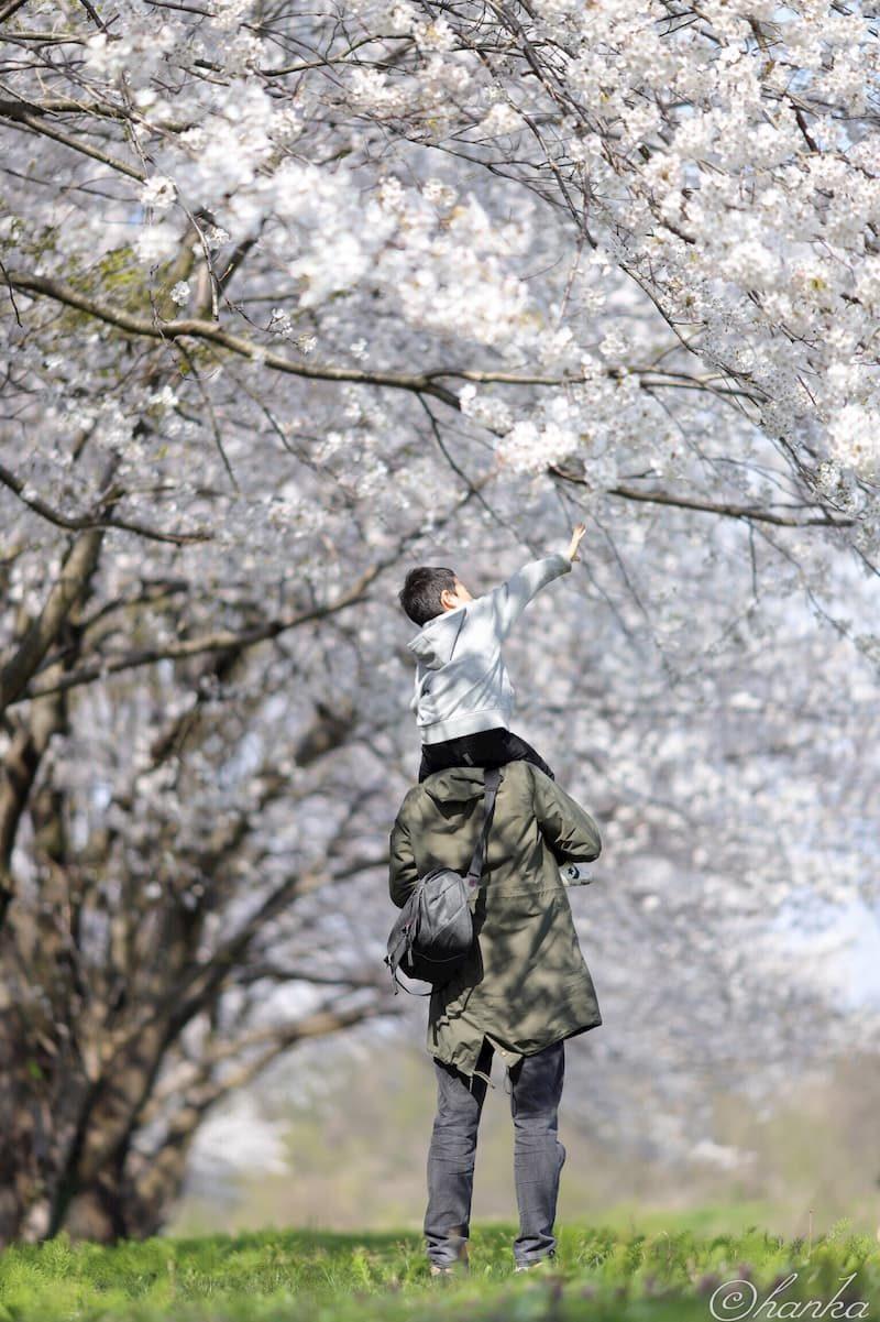 桜,白飛び