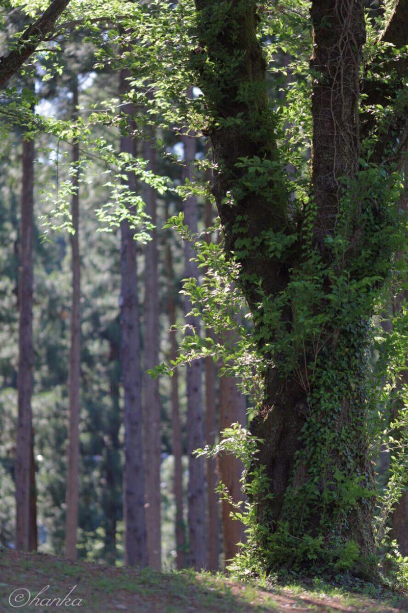 葉桜,135mm,eosrp