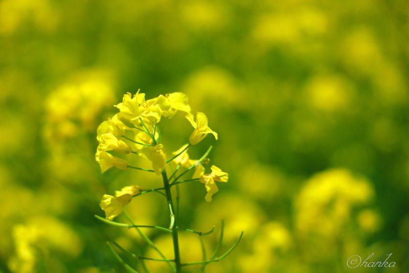 eosrp,rf24-105f4,菜の花,写真