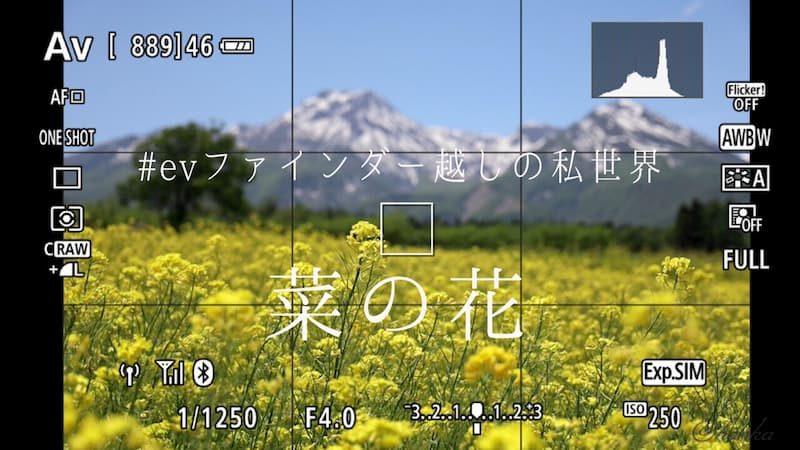 eosrp,rf24-105f4,菜の花,写真,evf