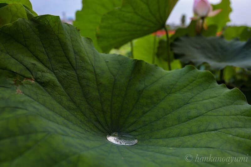 蓮の葉のロータス効果