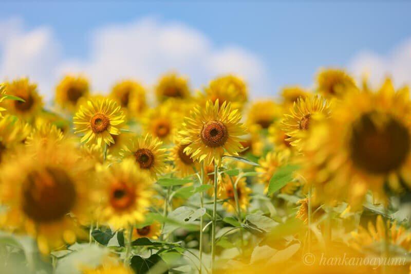 eosrp,ef135mmf2,向日葵,写真