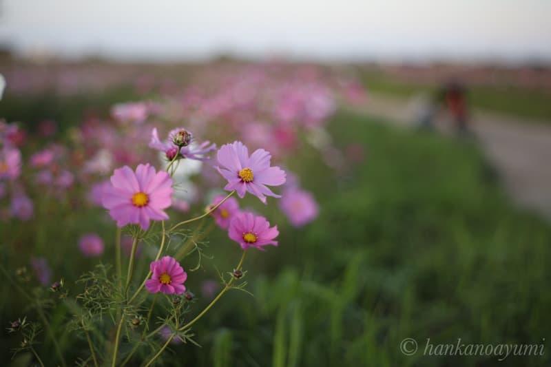 EOS RPとスーパータクマー 55mm f1.8で秋桜