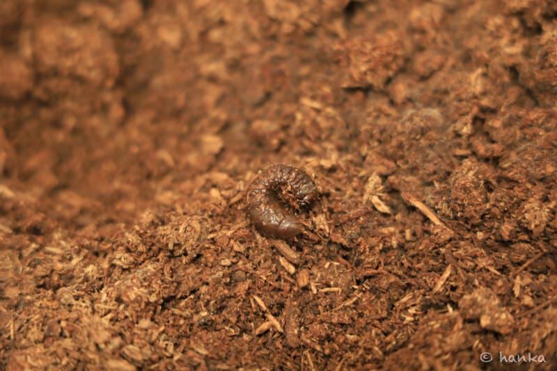 カブトムシの幼虫,動かない