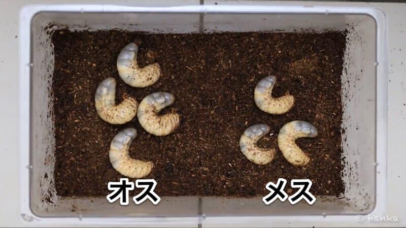 カブトムシ,性別