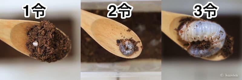 カブトムシの幼虫,成長
