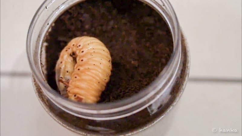カブトムシの幼虫,黄色
