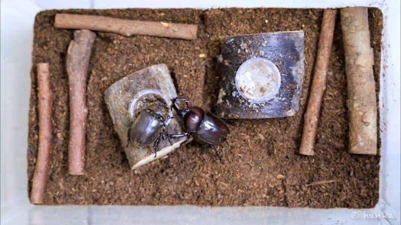 カブトムシ,交尾